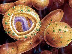 Что происходит в организме человека при инфицировании его вирусом гепатита